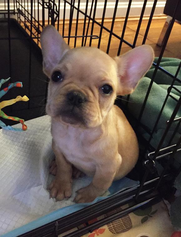 VinceCincy.com House Train a French Bulldog