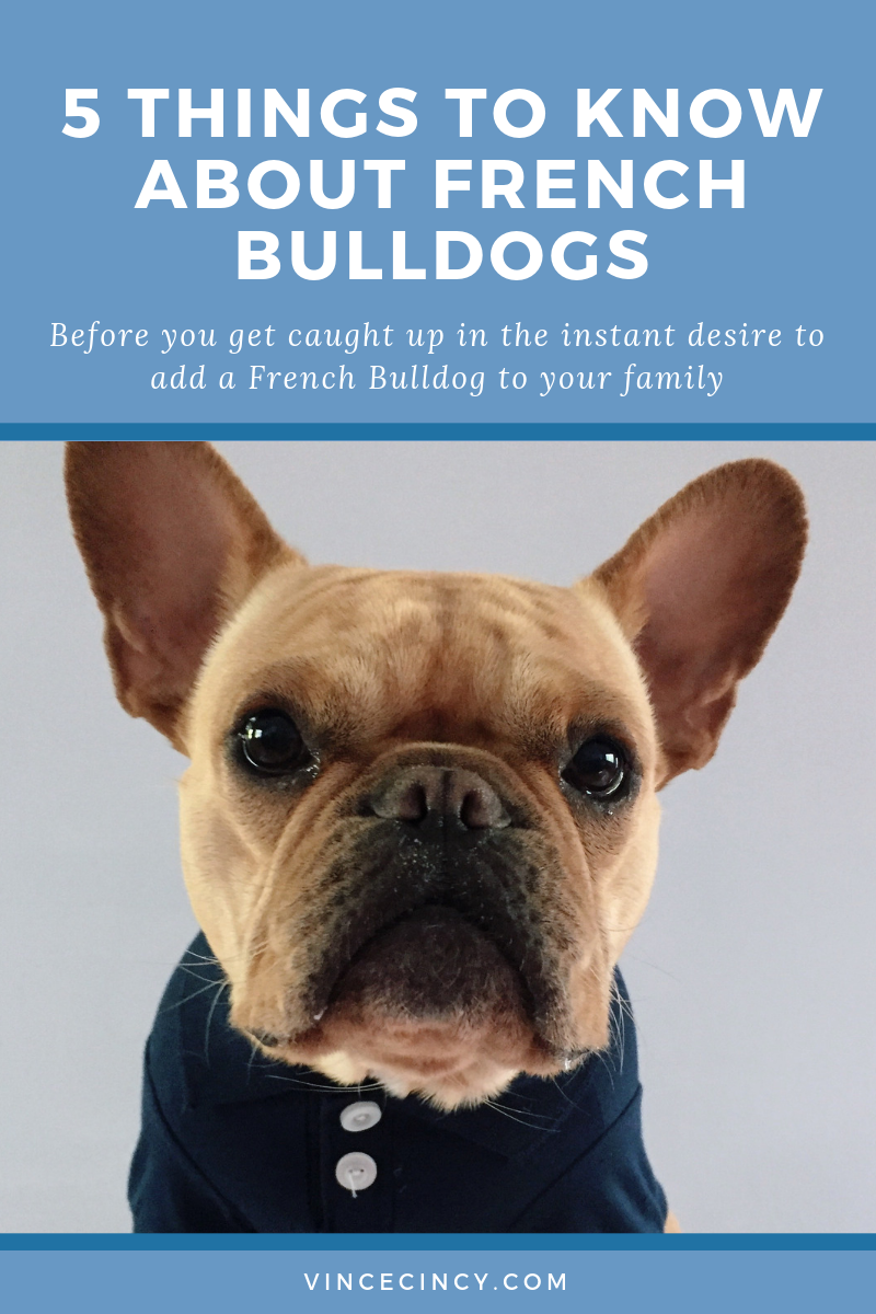 5 things to consider When getting a french bulldog | vincecincy.com
